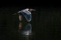 Great Blue Heron in Flight VIII