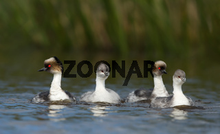 A family of Silvery Grebes swimming in a lake