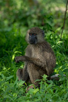 Olive baboon in grass with head turned