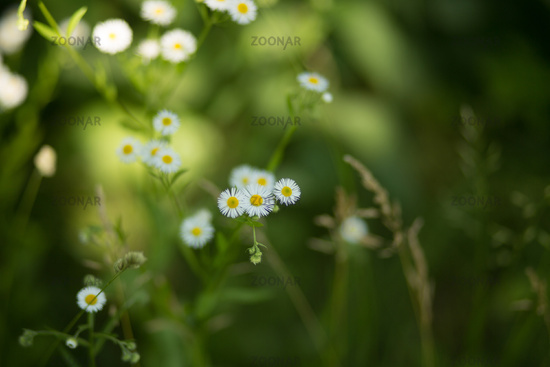 Little daisies in forest grass.