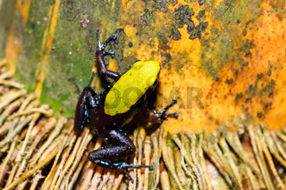 frog Climbing Mantella, Madagascar wildlife