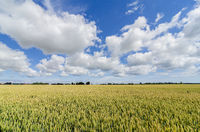 wheat crops field