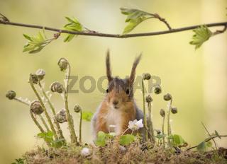 red squirrel standing behind ferns