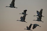 Sandhill Cranes Bosque del Apache Wildlife Reserve New Mexico USA