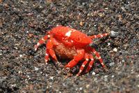 Red Round Crab, Neoliomera insularis