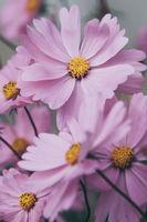 few pink beautiful cosmos flowers