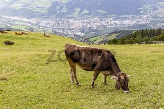 Kuh auf Almwiese, Südtirol, Italien, cow on meadow, south tyrol, italy