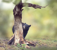 Young bear behind of the tree