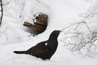 Auerhahn, Tetrao urogallus, wood grouse_MGL3283.jpg