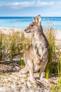 Australian kangaroo on beautiful remote beach