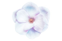 Beautiful magnolia closeup flower blossom isolated on white background. Soft iridescent blue and pink toned. Shallow depth