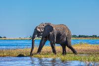 African elephant - single