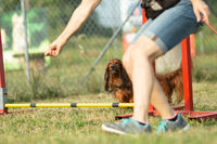 A brown teckel or dachshund pure breed dog learns to jump over obstacles with human hand signals in agility training at dog school or dog zone.