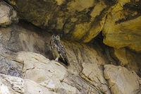 Indian Eagle Owl, Bubo bengalensis. Bera, Rajasthan, India