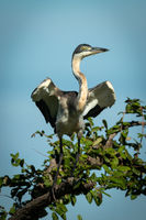 Black-headed heron stands spreading wings on branch