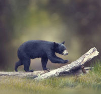 American Black Bear walking