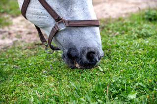 White Lipizzan Horse Grazing in Stable, close up