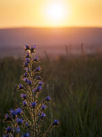 viper's bugloss in a field at sunset