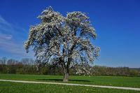 Blühender Birnbaum, pear tree, Pyrus communis