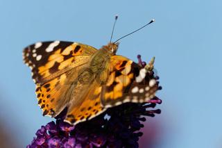 Distelfalter am Schmetterlingsflieder