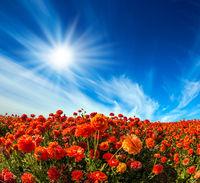 The red garden buttercups