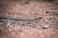 Masculine reptile or grass snake, Natrix natrix