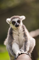 A lemur is sitting alone on a branch