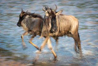 Slow pan of blue wildebeest crossing water