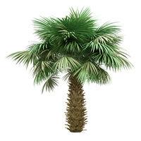 sabal palm tree isolated on white background