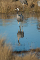 Common crane (Grus grus) in a lagoon. Gallocanta Lagoon Natural Reserve. Aragon. Spain.