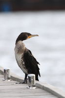 great cormorant (Phalacrocorax carbo) Cormorant is sitting at the boat landing stage Germany