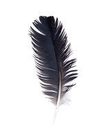 Delicate crow feather