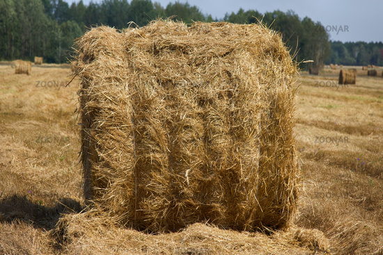 Harvested, straw rolled into rolls