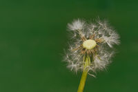 Dandelion Wind Propagation