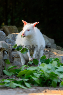 Red-necked Wallaby albino
