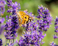 Macro of a painted lady butterfly on a flower