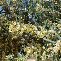 Blühender Olivenzweig, Olea europaea