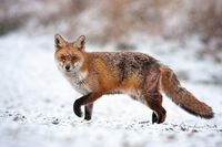Bruised red fox pursuing prey on a hunt in icy environment.