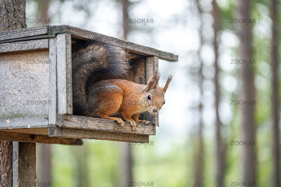 Squirrel sitting on the tree on the feeding box in forest or park.