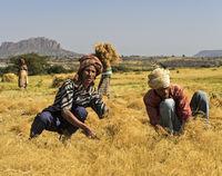 Bauern bei der Ernte von Teff (Eragrostis tef) mit der Sichel, Hawzien, Tigray, Äthiopien