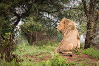 Male lion sitting in woods on bank