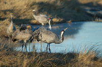Common cranes (Grus grus). Gallocanta Lagoon Natural Reserve. Aragon. Spain.