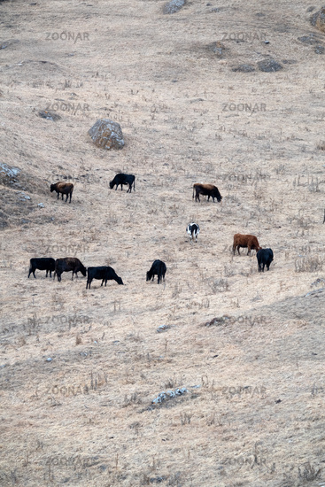 Cows graze on natural pastures in winter