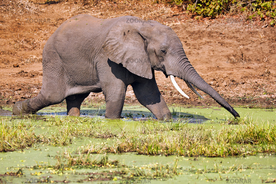 Elefant im Wasser im South Luangwa Nationalpark, Sambia, (Loxodonta africana) |  Elephant in the water at South Luangwa National Park, Zambia, (Loxodonta africana)