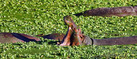 Hippo im Wasser im South Luangwa Nationalpark, Sambia, (Hippopotamus amphibius) |  Hippo in the water at South Luangwa National Park, Zambia, (Hippopotamus amphibius)