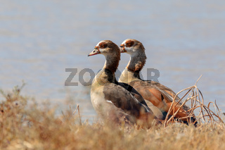 Egyptian goose Moremi Botswana, Africa wilderness