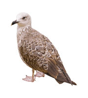 Brown Bird Side View Isolated Photo