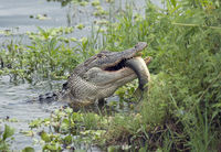 Alligator eating a large fish
