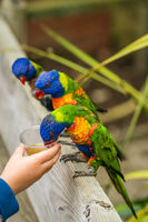 Child feeding sweet nectar to Lorikeets