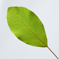 Closeup of fresh green leaf on gray background with copy space. Natural layout. Top view